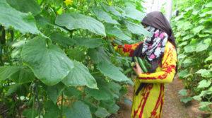 women, coops, cooperatives, Rojava, Tirbespiye, greenhouse